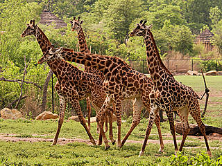 Giraffen im Kansas City Zoo. © Kansas City Zoo