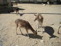 Rehe im Sierra Safari Zoo © biofriendly